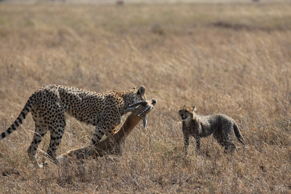 Bad Mothers And Why They Make A Difference To Cheetah Survival