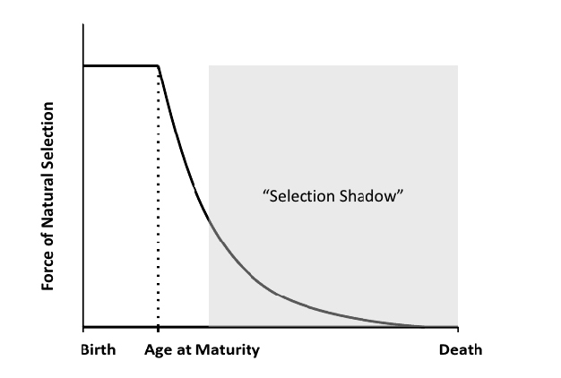 The selection shadow is the diminished force of selection with age and reproductive decline. Source: Fabian and Flatt, 2011.